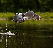 Black-headed Gull in flight by M.S. Photography/Art