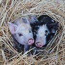 Two Little Pigs by Pauline Tims