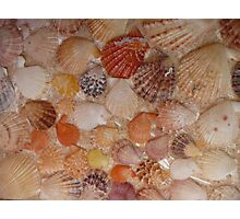 A Collection of Fan Shells. Photographic Print