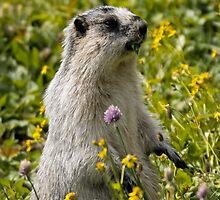 Hoary marmot - Glacier National Park by starsofglass