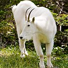 Mountain goat - Glacier National Park by starsofglass