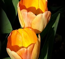 Two Tulips by Rosemary Sobiera