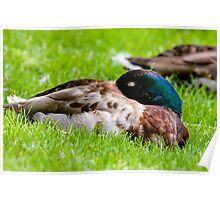 Sleeping Mallard Duck Poster