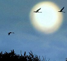 Swans By Moonlight by naturelover