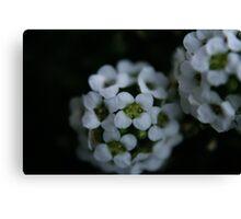 little bloom Canvas Print