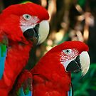 2 Red Macaws by maureenclark