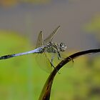 Blue Dragonfly by Gabrielle  Lees