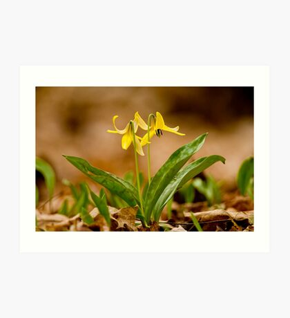 Dogs Tooth Lily - Erythronium Art Print