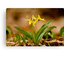 Dogs Tooth Lily - Erythronium Canvas Print
