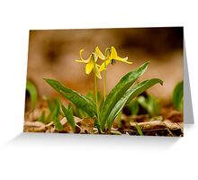Dogs Tooth Lily - Erythronium Greeting Card