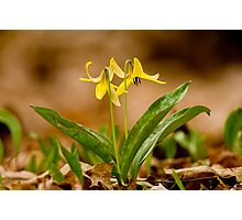 Dogs Tooth Lily - Erythronium Photographic Print