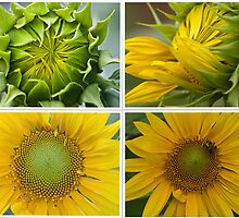 Birth of a Sunflower by KellyEverill