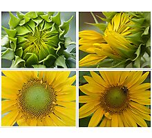 Birth of a Sunflower Photographic Print
