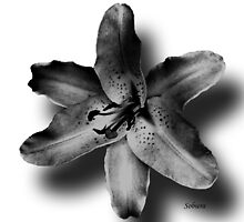 Asiatic Lily 2 by Rosemary Sobiera