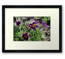 Pasque Flower - Pulsatilla vulgaris Framed Print