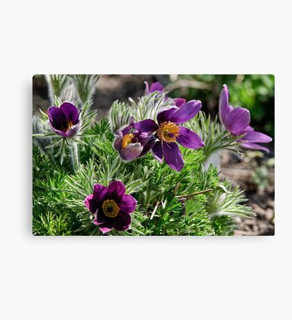 Pasque Flower - Pulsatilla vulgaris Canvas Print