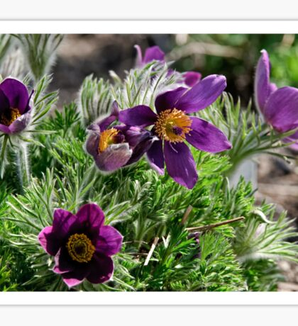 Pasque Flower - Pulsatilla vulgaris Sticker