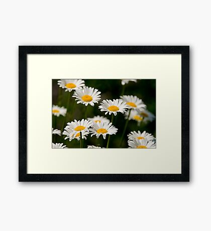 Oxe-eye Daisy Framed Print