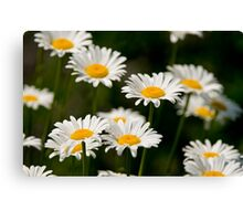 Oxe-eye Daisy Canvas Print