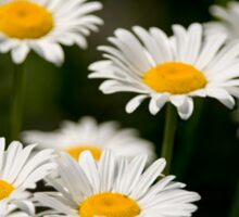 Oxe-eye Daisy Sticker