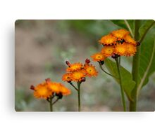 Orange Hawkweed Canvas Print