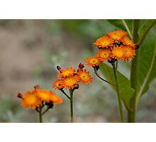 Orange Hawkweed Photographic Print
