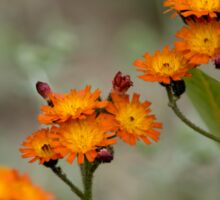 Orange Hawkweed Sticker