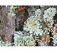 Green Shield Lichens Photographic Print