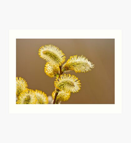 Spring Time Pussy Willow Art Print
