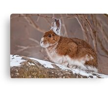 Snow Shoe Hare  Canvas Print