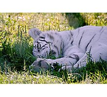 Sleeping White Tiger Photographic Print