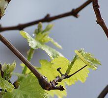 Chardonnay; La Mirada, CA  by leih2008