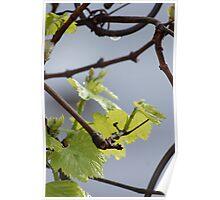 Chardonnay; La Mirada, CA  Poster