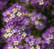 Sweet alyssum by Celeste Mookherjee