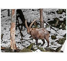 Ibex in Winter Poster