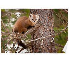Pine Marten In Pine Tree Poster