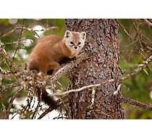 Pine Marten In Pine Tree Photographic Print