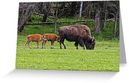 Bison And Calves by Michael Cummings