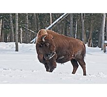 Bison In Winter Photographic Print