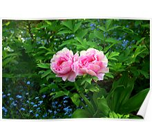 A Beautiful Pair of Peonies Poster