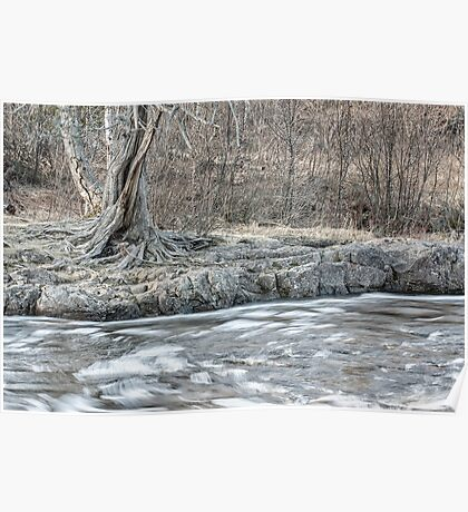 Twisted Tree Along the River Bend Poster