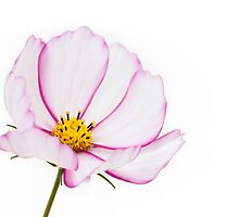 Delicate cosmos by AngiNelson