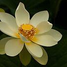 White Lotus by Ian Stevenson