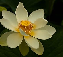 White Lotus by Ian Stevenson