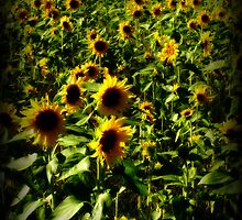 Sunflower Field by Lyana Votey