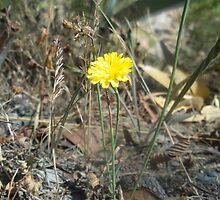 Yellow wildflower, Morialta National Park, South Australia by JewelsSmith