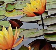The Dance Of The Waterlily  by SandH