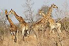 Giraffes by Michael  Moss