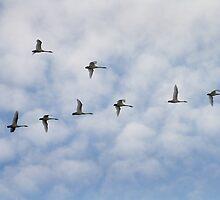 Tundra Swans in Flight by Mark Van Scyoc