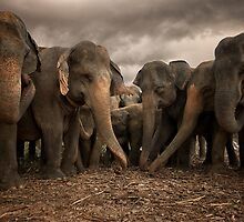 Sri Lankan Elephants by Dean Mullin